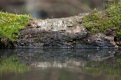 Der alte Klotz mit Moos auf einem Teich im Wald Selektiver Fokus Stockfotos