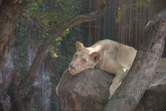 Der alte Löweschlaf auf einem Felsen Stockfotografie
