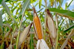 Der alte Mais in Thailand, nahes hohes des Mais Stockfoto
