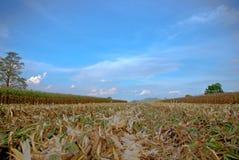 Der alte Mais in Thailand, nahes hohes des Mais Stockfotos