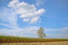 Der alte Mais in Thailand, nahes hohes des Mais Lizenzfreie Stockfotos