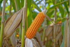 Der alte Mais in Thailand, nahes hohes des Mais Stockbilder