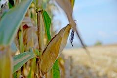 Der alte Mais in Thailand, nahes hohes des Mais Lizenzfreies Stockbild