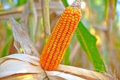 Der alte Mais in Thailand, nahes hohes des Mais Lizenzfreie Stockfotografie