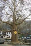 Der alte Mammutbaum in der Mitte von Melnik in Bulgarien Stockbilder