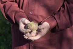 Der alte Mann übergibt das Halten von Kartoffeln für das Pflanzen Stockfoto