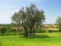 Der alte Olivenbaum stockbild