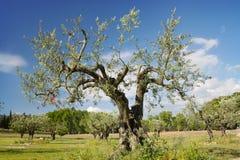 Der alte Olivenbaum Lizenzfreie Stockfotografie