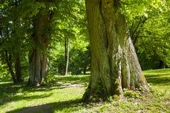 Der alte Park, der enorme alte Lindenbaum Stockfoto