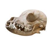 Der alte Schädelhund auf einem weißen Hintergrund Stockbild