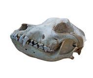 Der alte Schädelhund auf einem weißen Hintergrund Stockfotografie