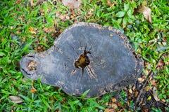 Der alte Stumpf wird mit Gras und Niederlassungen für einen langen Tim bedeckt Stockfotos
