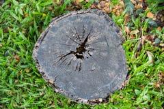 Der alte Stumpf wird mit Gras und Niederlassungen für einen langen Tim bedeckt Lizenzfreie Stockbilder