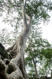 Der alte und große Baum Stockbilder