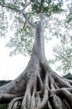 Der alte und große Baum Lizenzfreie Stockfotos