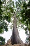 Der alte und große Baum Stockfotos