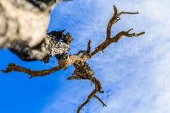 Der alte und trockene Baum Lizenzfreie Stockfotografie