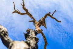 Der alte und trockene Baum Stockfotografie
