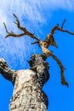 Der alte und trockene Baum Lizenzfreies Stockbild