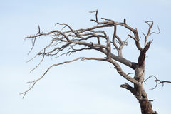 Der alte und vollständig trockene Baum, der gegen den blauen Himmel wächst Stockbilder