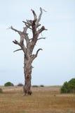 Der alte und vollständig trockene Baum, der gegen den blauen Himmel wächst Lizenzfreies Stockbild