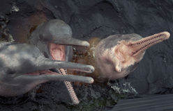 Der Amazonas-Delphine stockfotografie