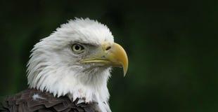 Der amerikanische kahle Adler Lizenzfreie Stockfotos