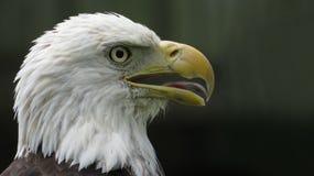 Der amerikanische kahle Adler Lizenzfreies Stockbild