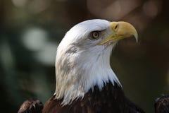Der amerikanische kahle Adler lizenzfreies stockfoto