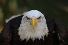 Der amerikanische kahle Adler stockfotografie
