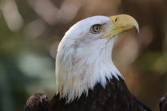 Der amerikanische kahle Adler lizenzfreie stockfotografie