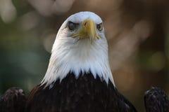 Der amerikanische kahle Adler stockbild