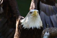 Der amerikanische kahle Adler lizenzfreie stockbilder