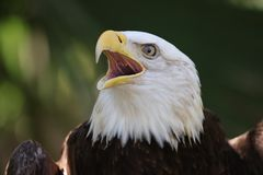 Der amerikanische kahle Adler stockfotos