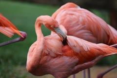 Der amerikanische rosa Flamingo stockbild