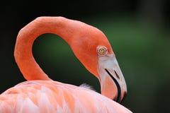 Der amerikanische rosa Flamingo lizenzfreie stockfotografie