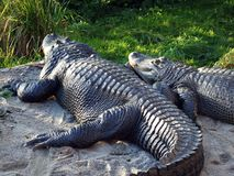 Der amerikanischer Alligatormississipi-alligator, der Alligator, der gemeine Alligator, der Der-Mississippi-Alligator oder das He lizenzfreies stockfoto