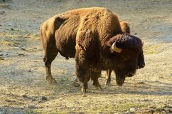 Der amerikanischer Bison Bisonbison, auch allgemein bekannt als der amerikanische Büffel oder einfach Büffel Lizenzfreie Stockfotos