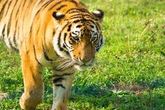 Der Amur-Tiger geht durch sein Gebiet lizenzfreie stockfotografie