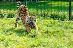 Der Amur-Tiger ist, ausdehnend gähnend und nach einem süßen Traum an einem warmen Sommertag Stockbilder