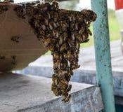 Der Anfang des Schwärmens der Bienen Ein kleiner Schwarm von hypnotisierten Bienen auf Papppapier apiary Stockfotos
