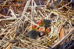 Der Anfang eines neuen Lebens der Vögel im Nest auf dem Wasser Lizenzfreies Stockbild