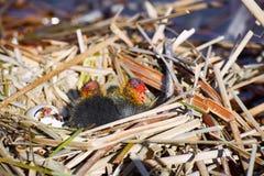 Der Anfang eines neuen Lebens der Vögel im Nest auf dem Wasser Stockbild