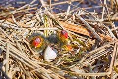 Der Anfang eines neuen Lebens der Vögel im Nest auf dem Wasser Lizenzfreie Stockfotos