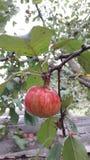 Der Apfel Stockfotografie
