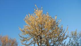 Der Apfelbaum blüht im Frühjahr, weiße Blumen im warmen Licht des Sonnenuntergangs stock footage