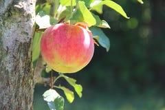 Der Apfelbaum im Garten Stockbilder