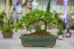 Der Aprikosenbonsaibaum, der im Frühjahr mit dem gelben blühenden Niederlassungskurven blüht, schaffen einzigartige Schönheit des Stockfotos