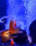 Der Aquariumgoldfisch schwimmt tiefen Abstieg zu den Steinen Lizenzfreie Stockfotografie