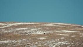 Der Argali die Bergschafe, Schafe, die auf einem schneebedeckten Bergabhang weiden lassen Nationalpark Saylyugemsky Reine Spekula stock video